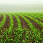 Американські фермери збільшили обсяги вирощування ГМ кукурудзи